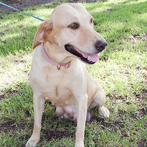 AKC yellow labrador retriever labrador puppies for sale