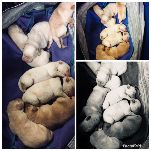Star & Rusty - Star and Rusty had a beautiful litter of Yellow Labradors on February 1st, 2019! They will be ready to go home starting on Thursday, March 28th! Reserve your pup now… they are going fast!  This is all we have left…2 Yellow females***Puppies shown in picture are 5 days old***