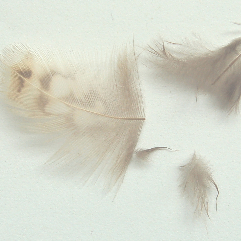 Cut feather. lite .JPG