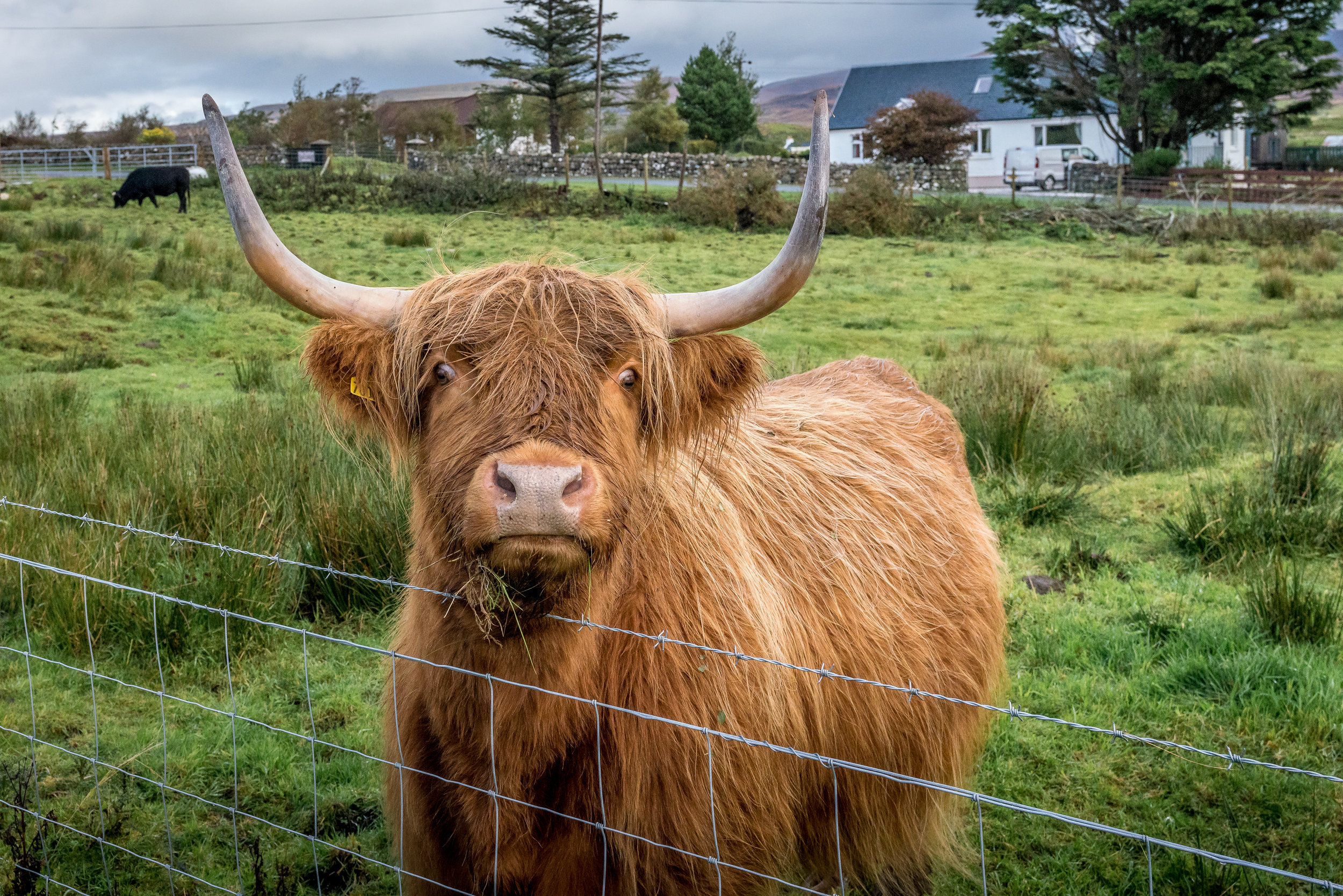 Young (and very friendly) Highland Cow