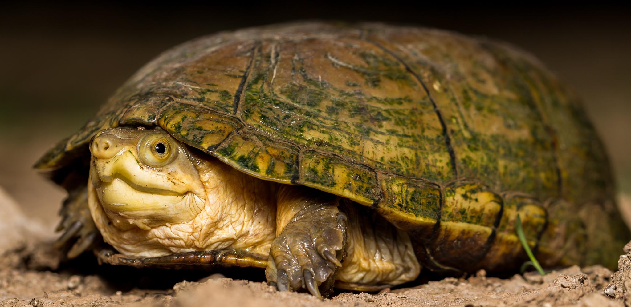 Facebook - Original - Arizona Mud Turtle (Kinosternon arizonense).jpg