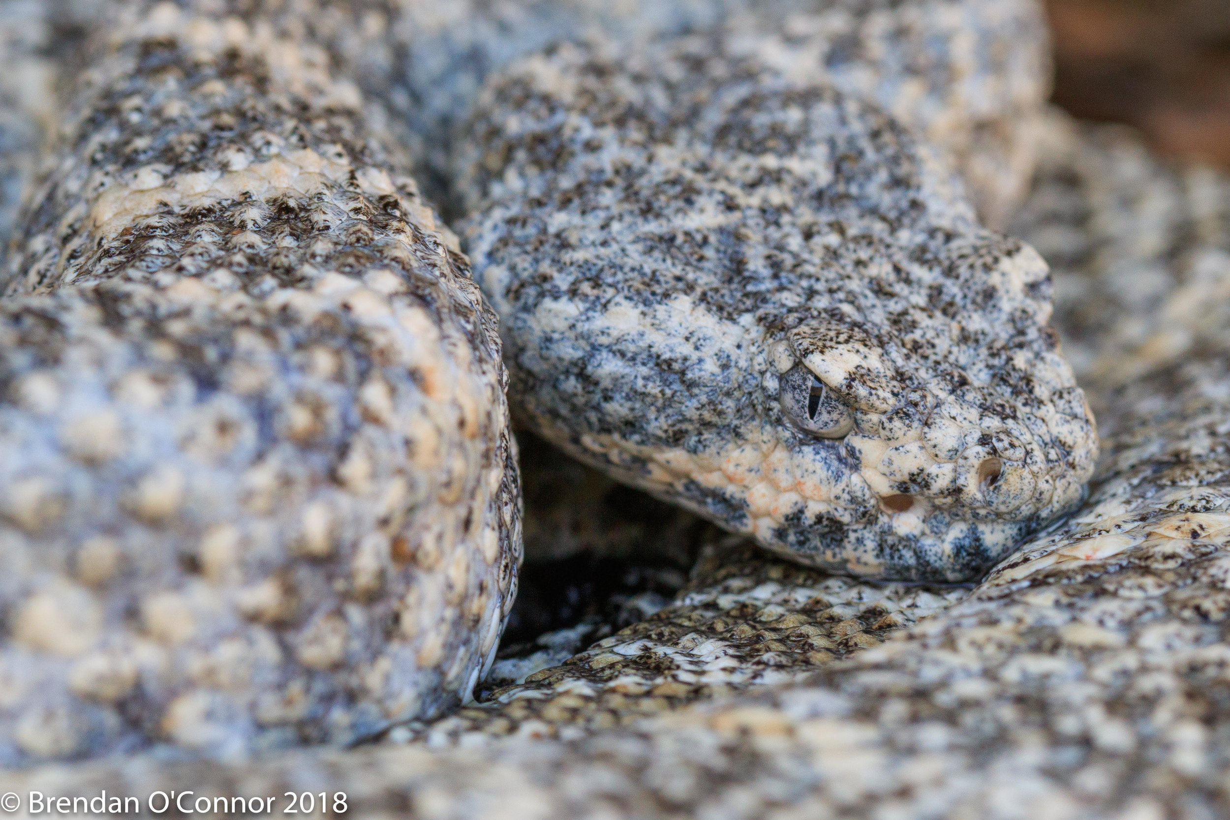 Speckled Rattlesnake (Crotalus pyrrhus) drinking water from its scales.