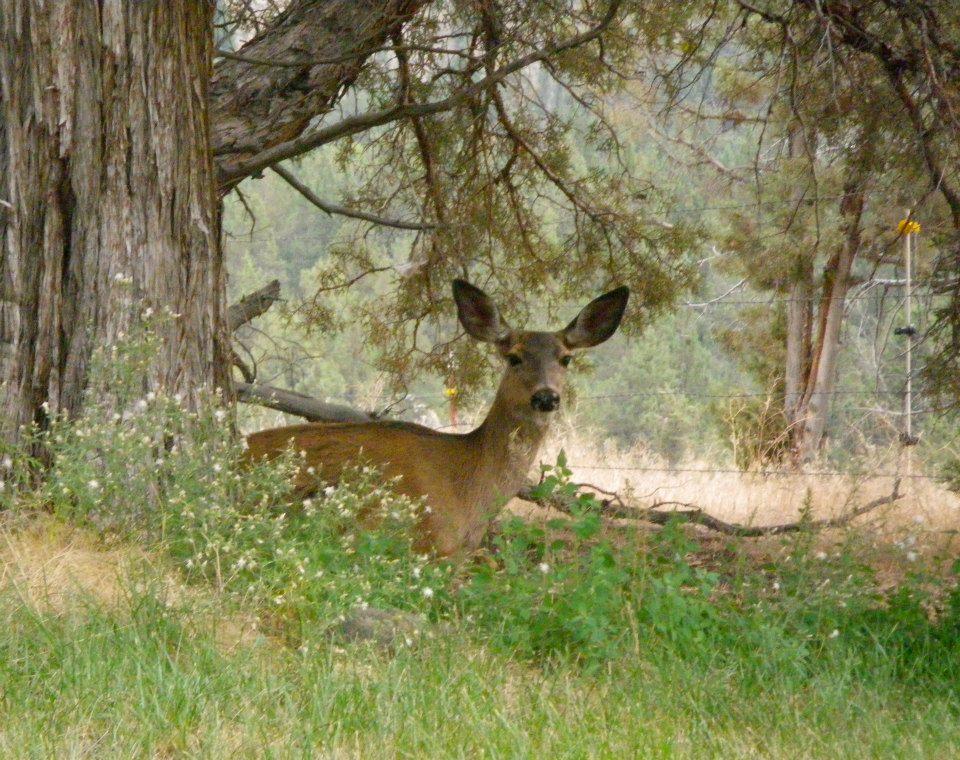 deer-laying-down.jpg