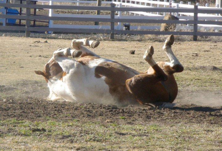 horse-rolling-over.jpg