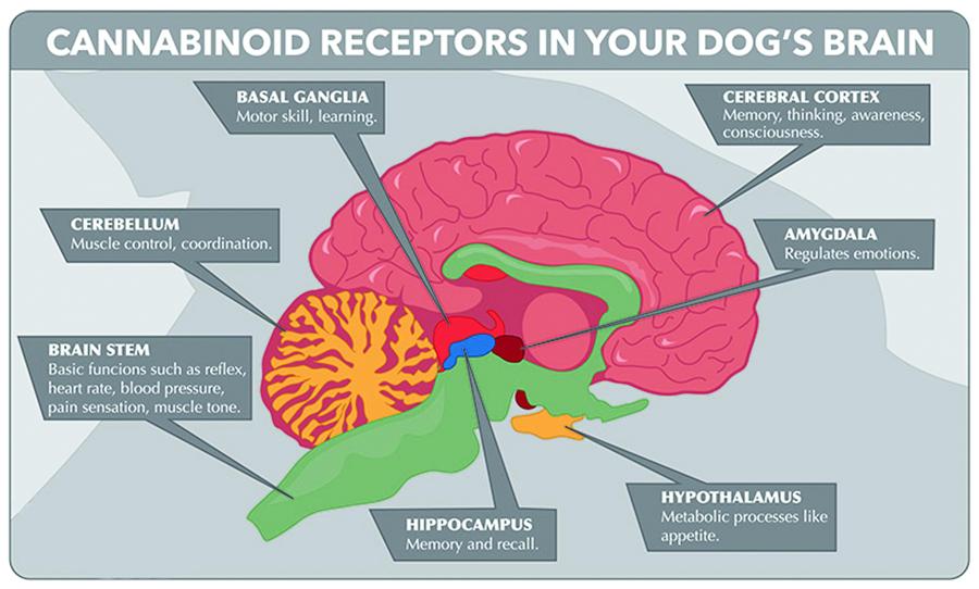 pet-dog-cat-endocannabinoid-receptors-brain-phyto.jpg