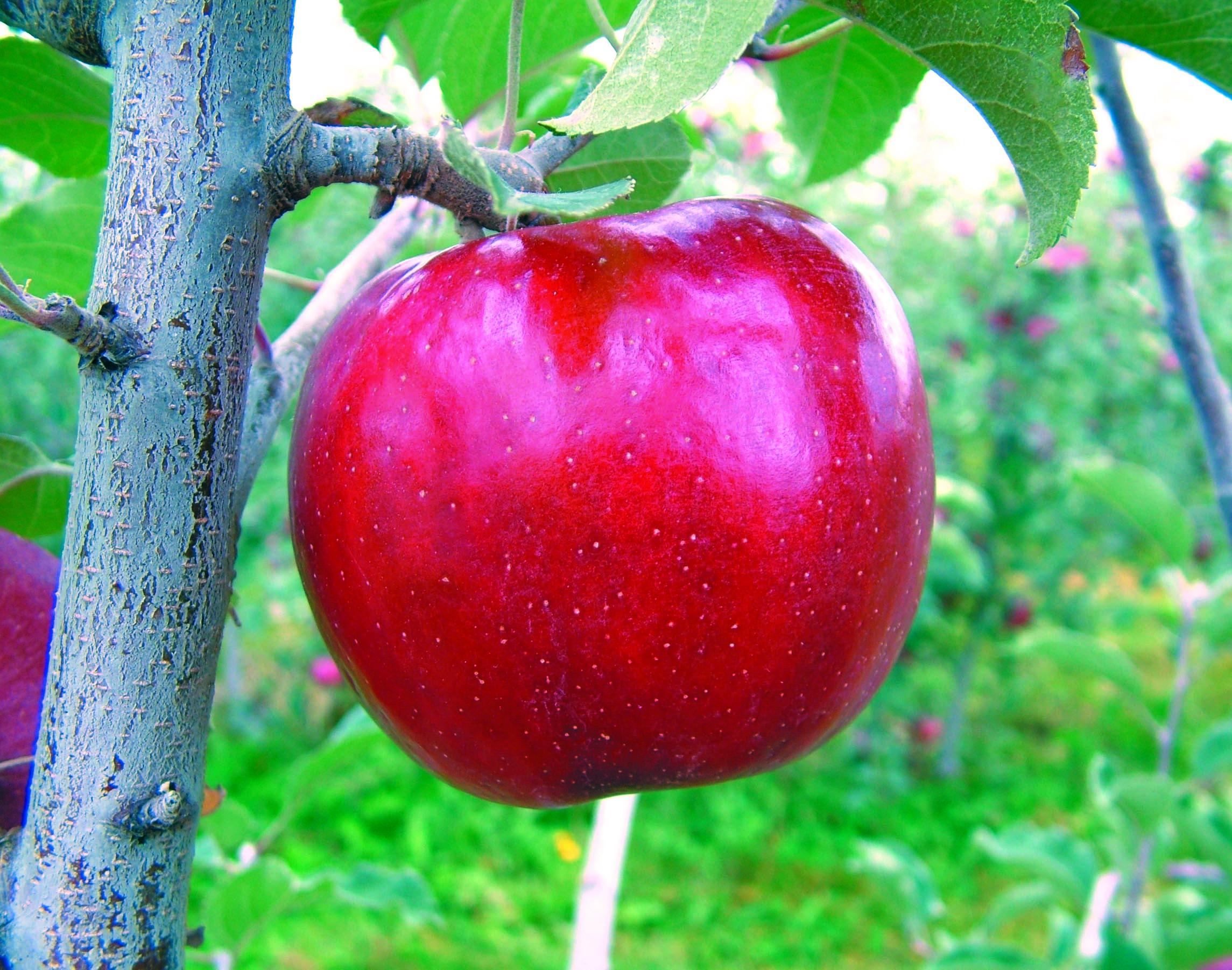 Aztec apple - 2008.jpg