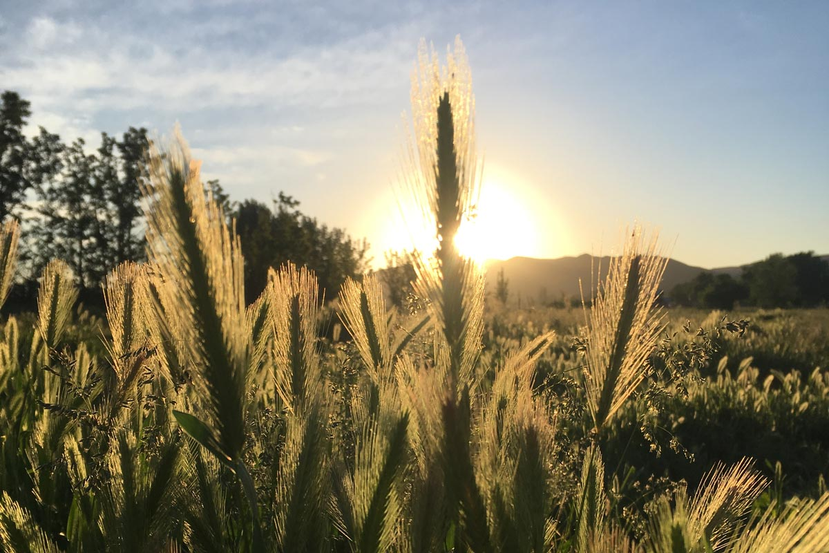 emmett-boise-organic-farming-grass-fed-beef-idaho-grass.jpg