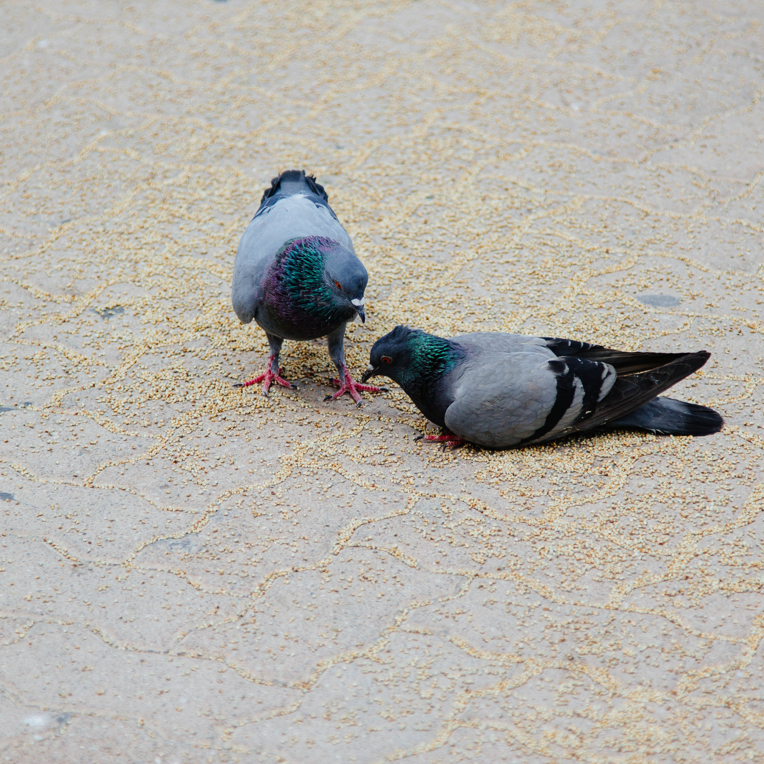 UAE Pigeons: Much skinnier and much more loved than the North American variety.