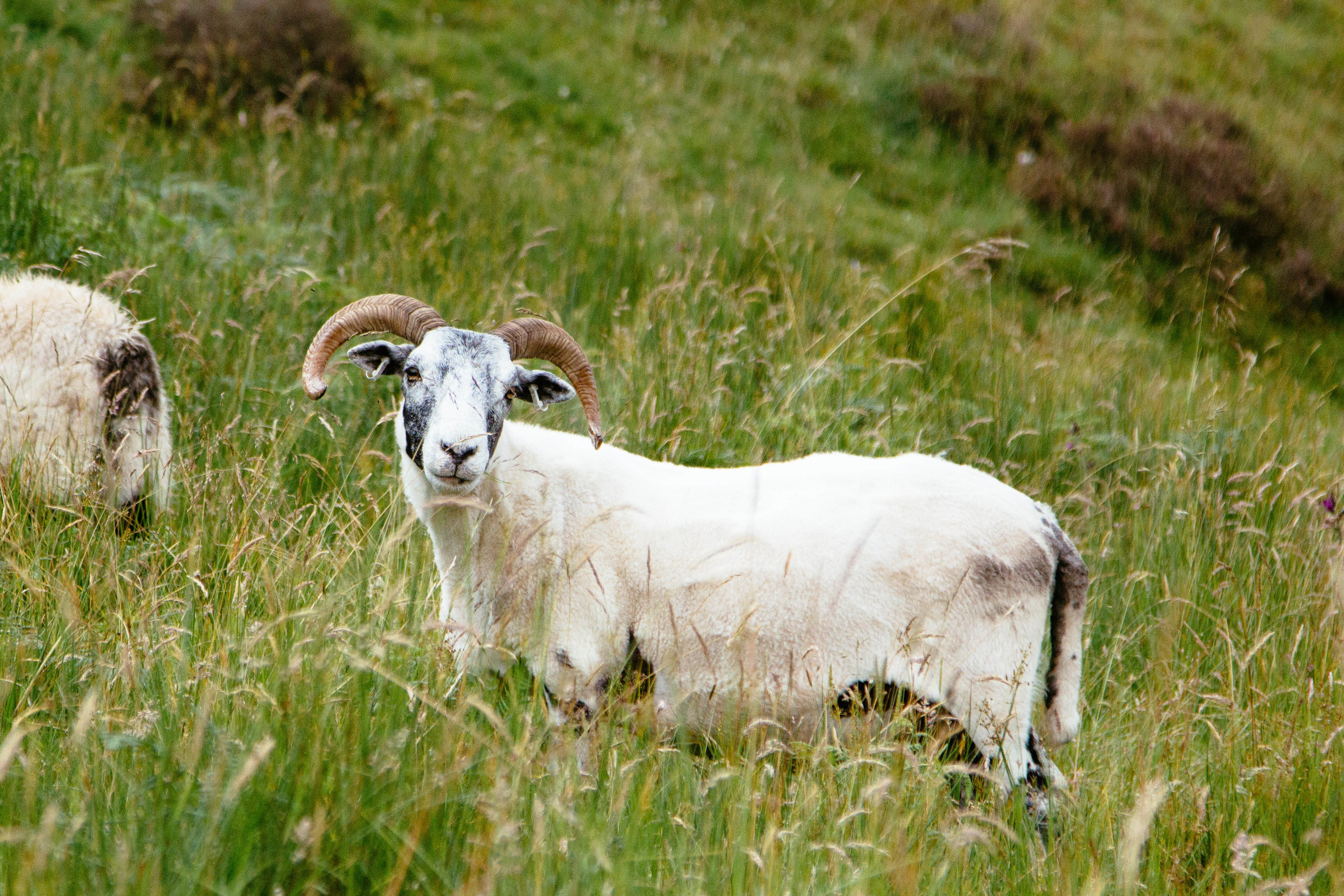 A recently sheered Scottish sheep