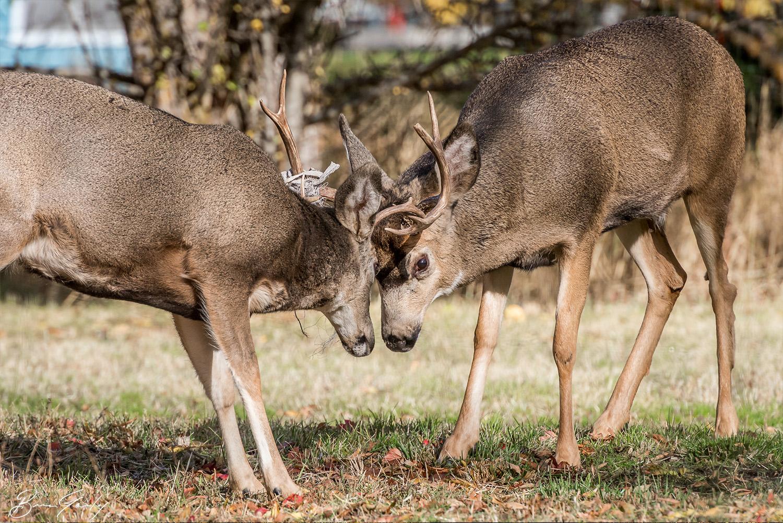 BGP_Deer.jpg