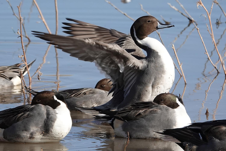 stock-duck2.jpg