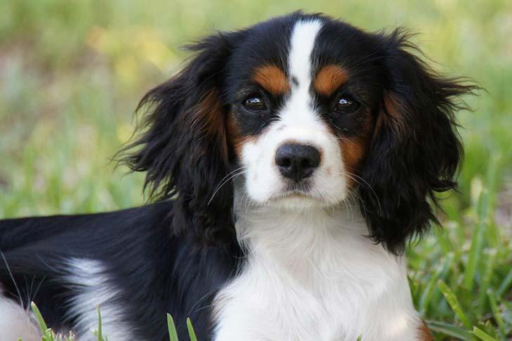 cavalier breed.jpg