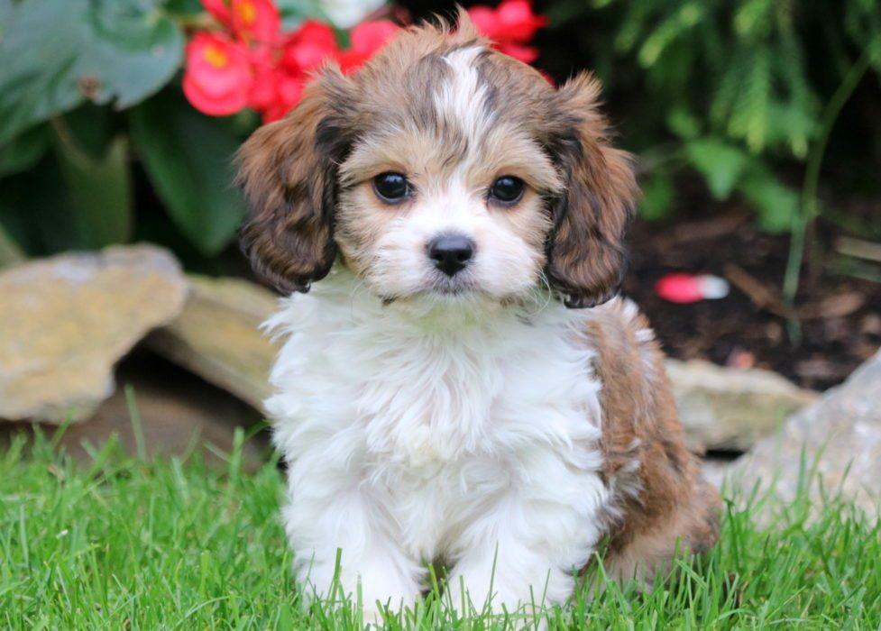 cavachon breed.jpg