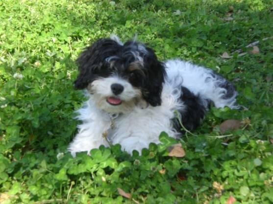 Cavachon Puppy - Romo.jpg
