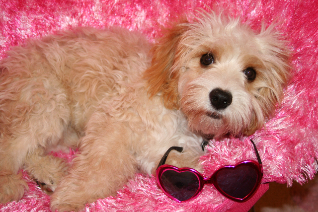 Cavachon Puppy - Hank