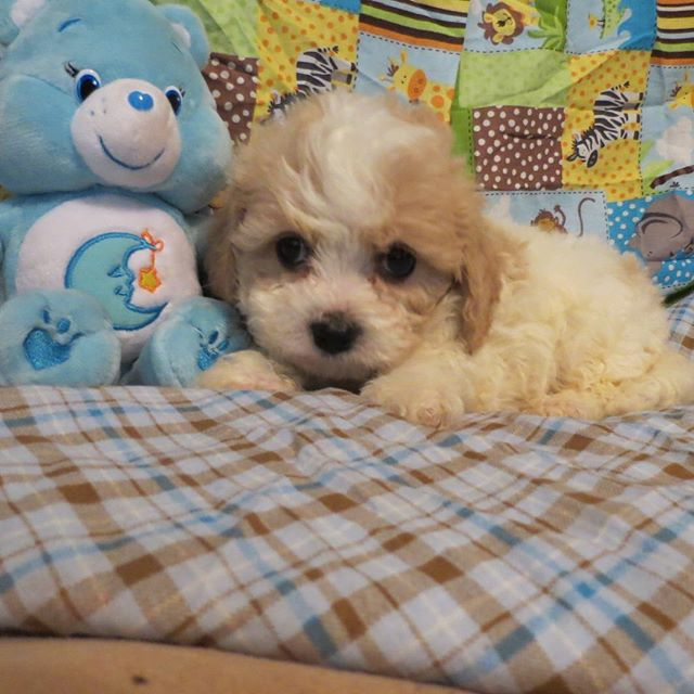 Look at this handsome guy ready for his furever home.#cavachon#puppiesforsale#cavalierkingcharles#toycavachon