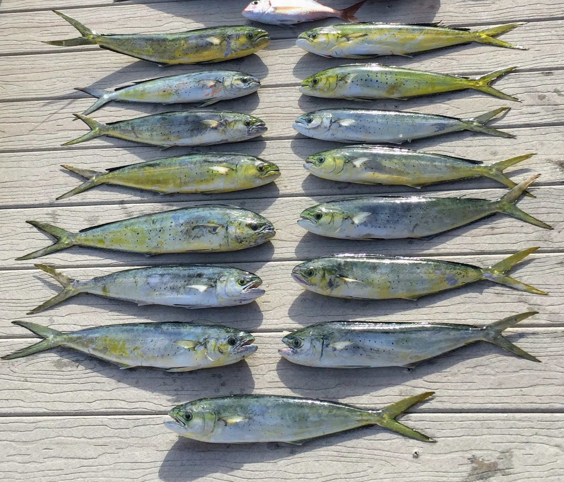 Several of these were caught on the 1 oz Minnow jig