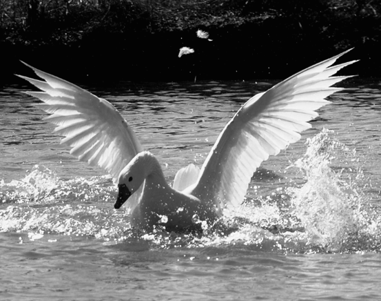 Swan Black and white.PNG