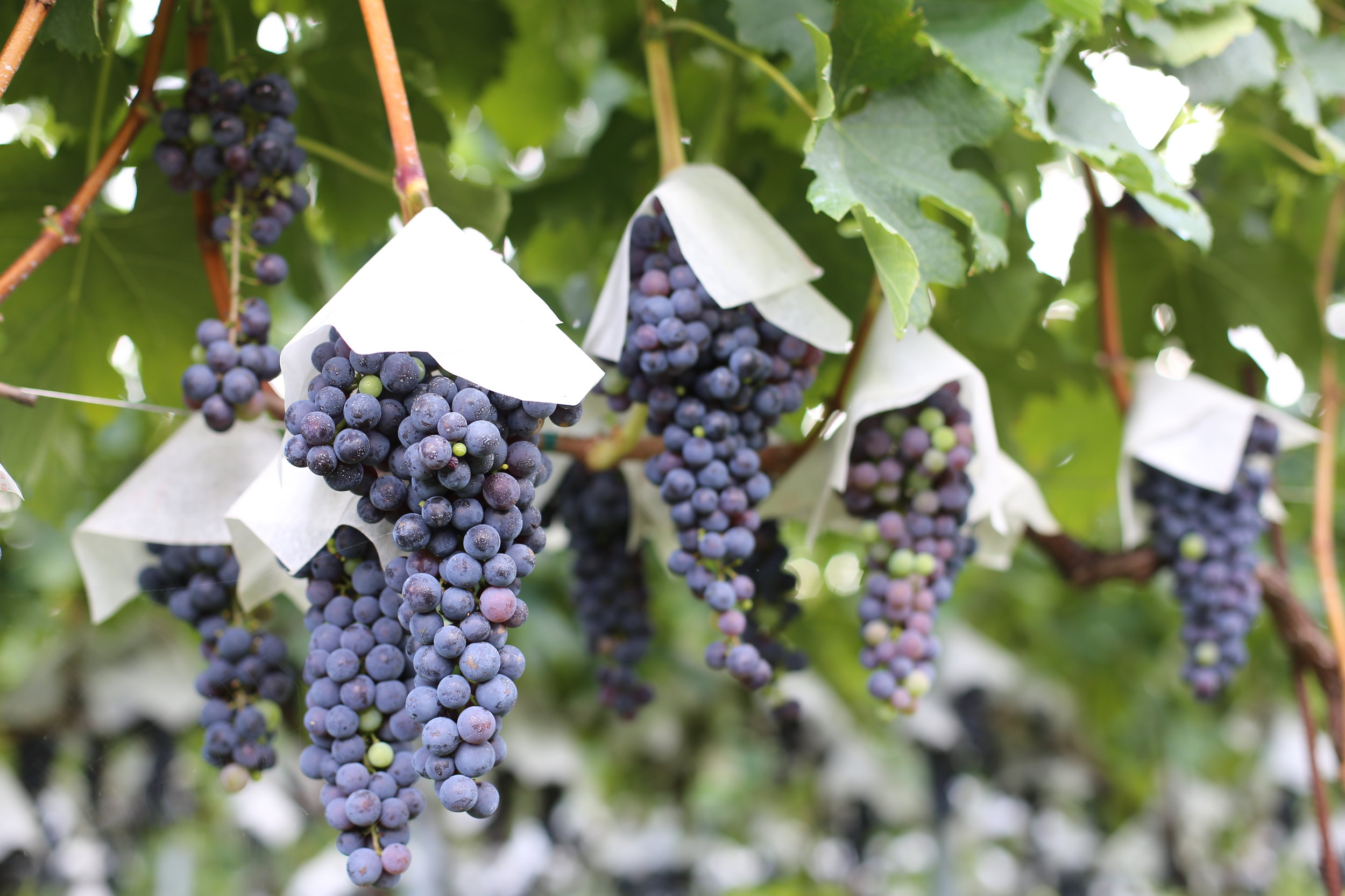 Even international grapes grown with European-style vertical trellising wear hats in the Koshu Valley.