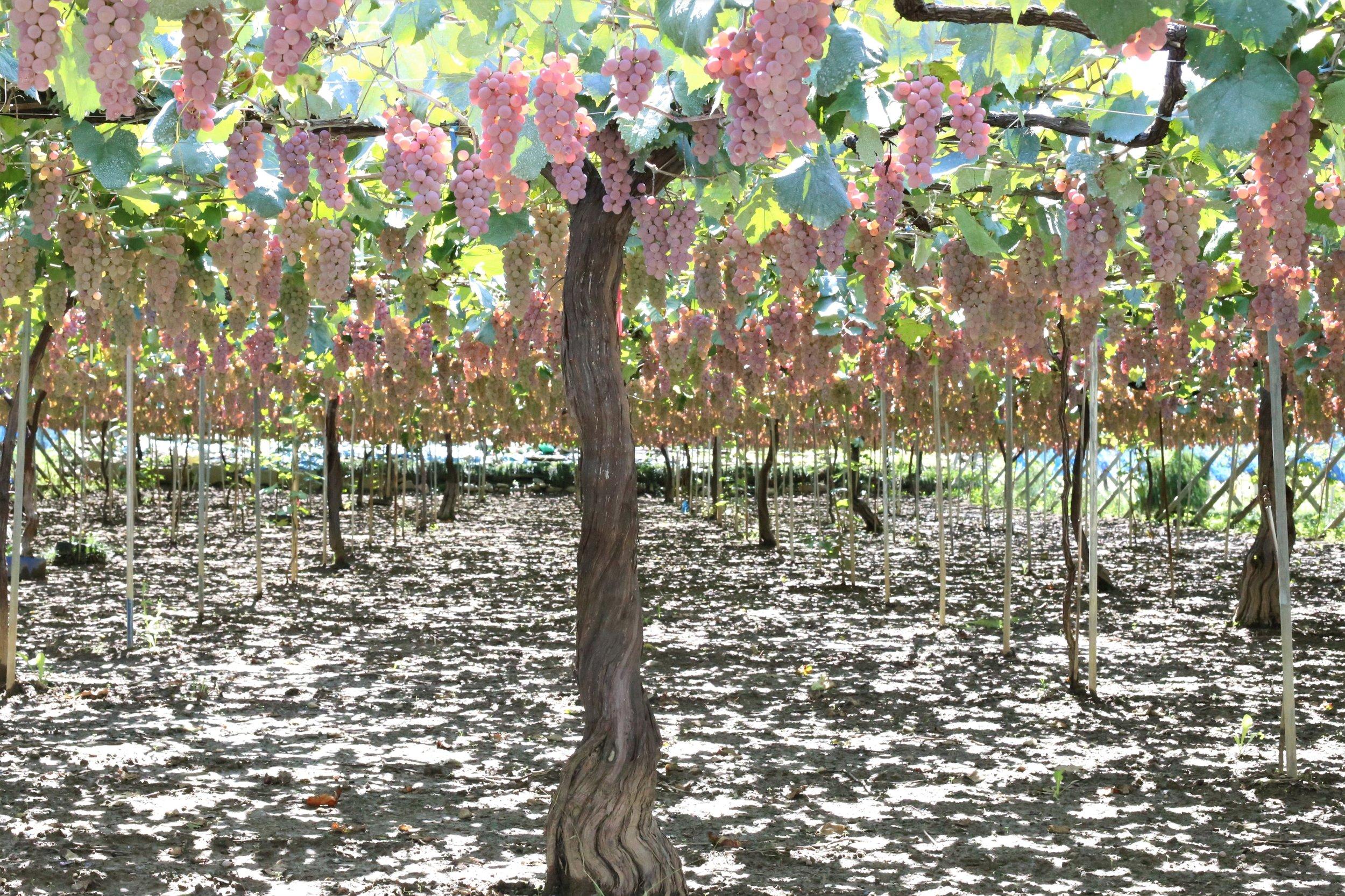 Koshu grapes grown with the Japanese overhead 'tanashiki' (pergola) trellising system, seen throughout the Koshu Valley.