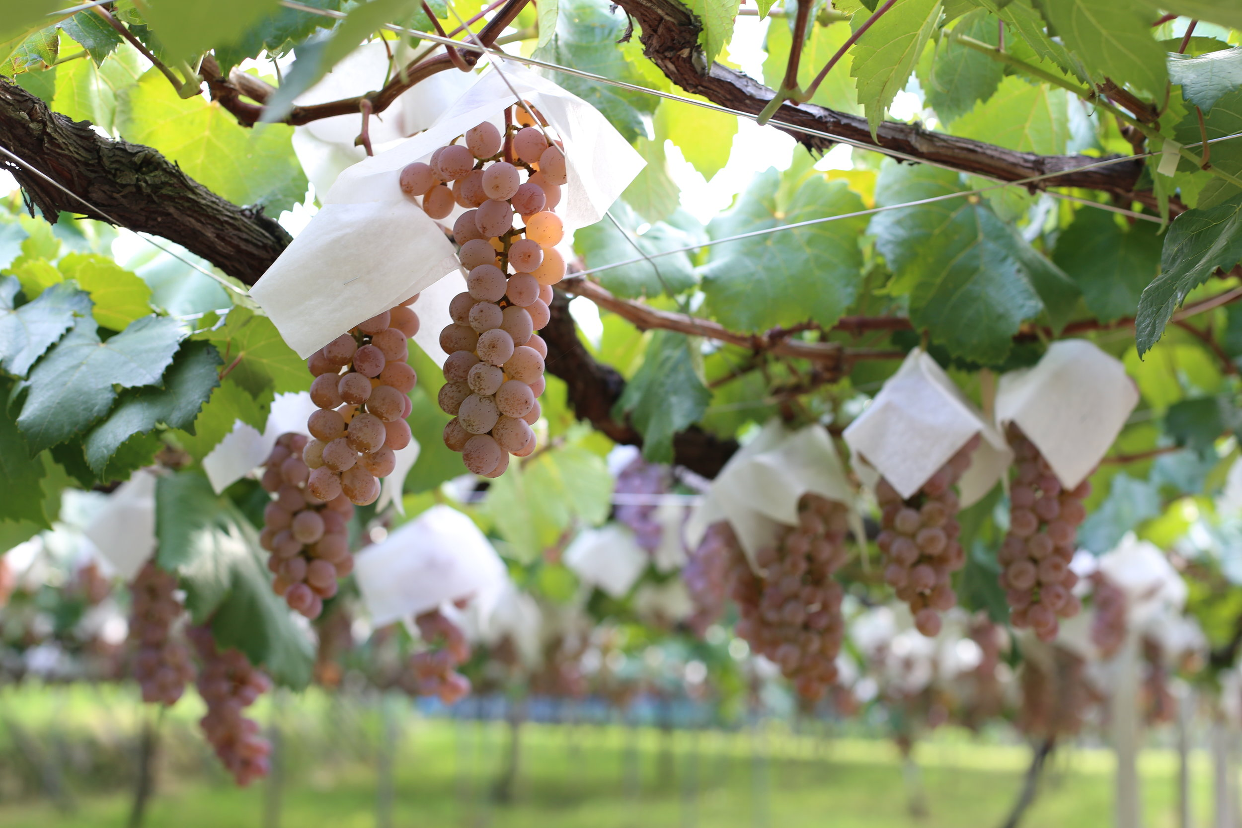 Koshu grapes with their distinctive paper hats that protect them from the elements.