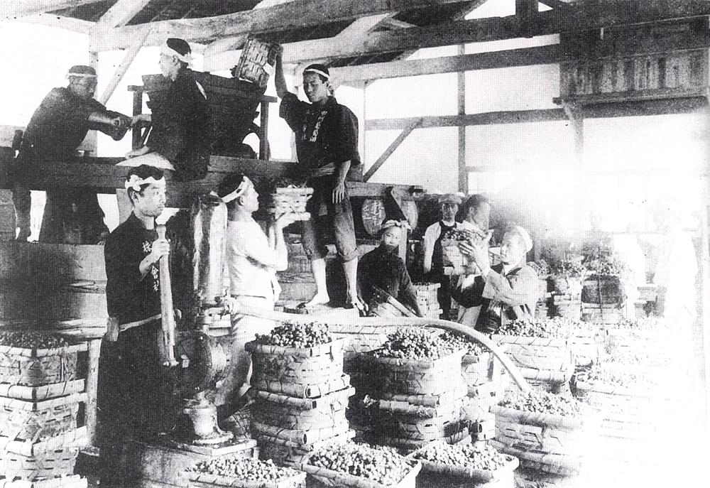 Crushing grapes for wine in Katsunuma, mid-Meiji period. (Photograph courtesy of Maruki Winery.)