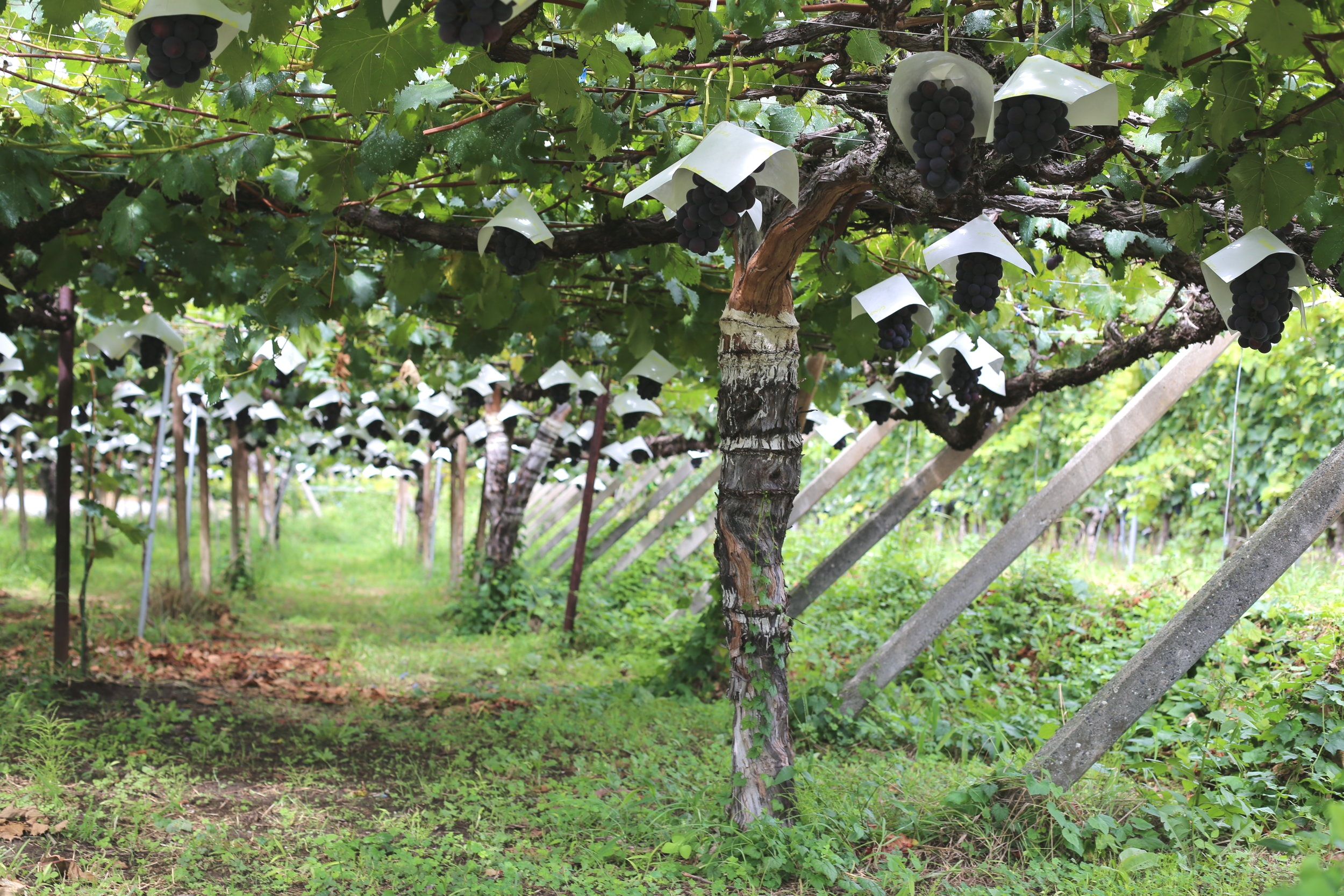 Koshu Valley_Japanese Wine Region_Pergola vineyard_Grapes w hats.JPG