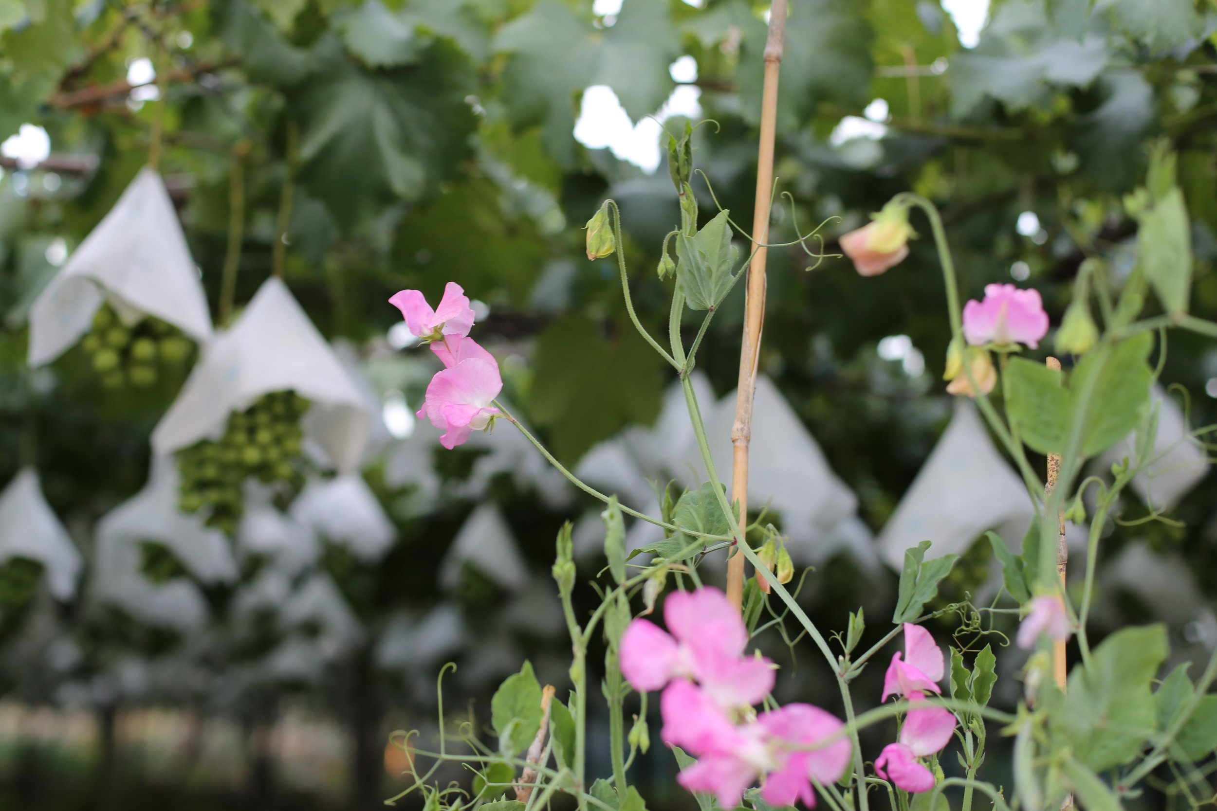 Koshu Valley_Japanese Wine Region_Pergola vineyard_Sweet peas_Summer.JPG
