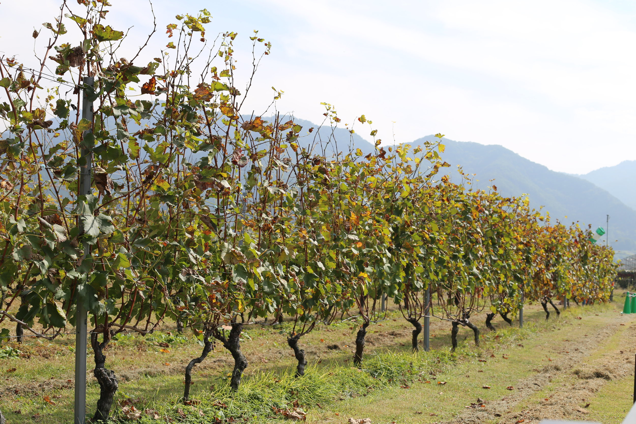 Koshu Valley_Japanese Wine Region_International grape varieties_Autumn_Vineyard.JPG