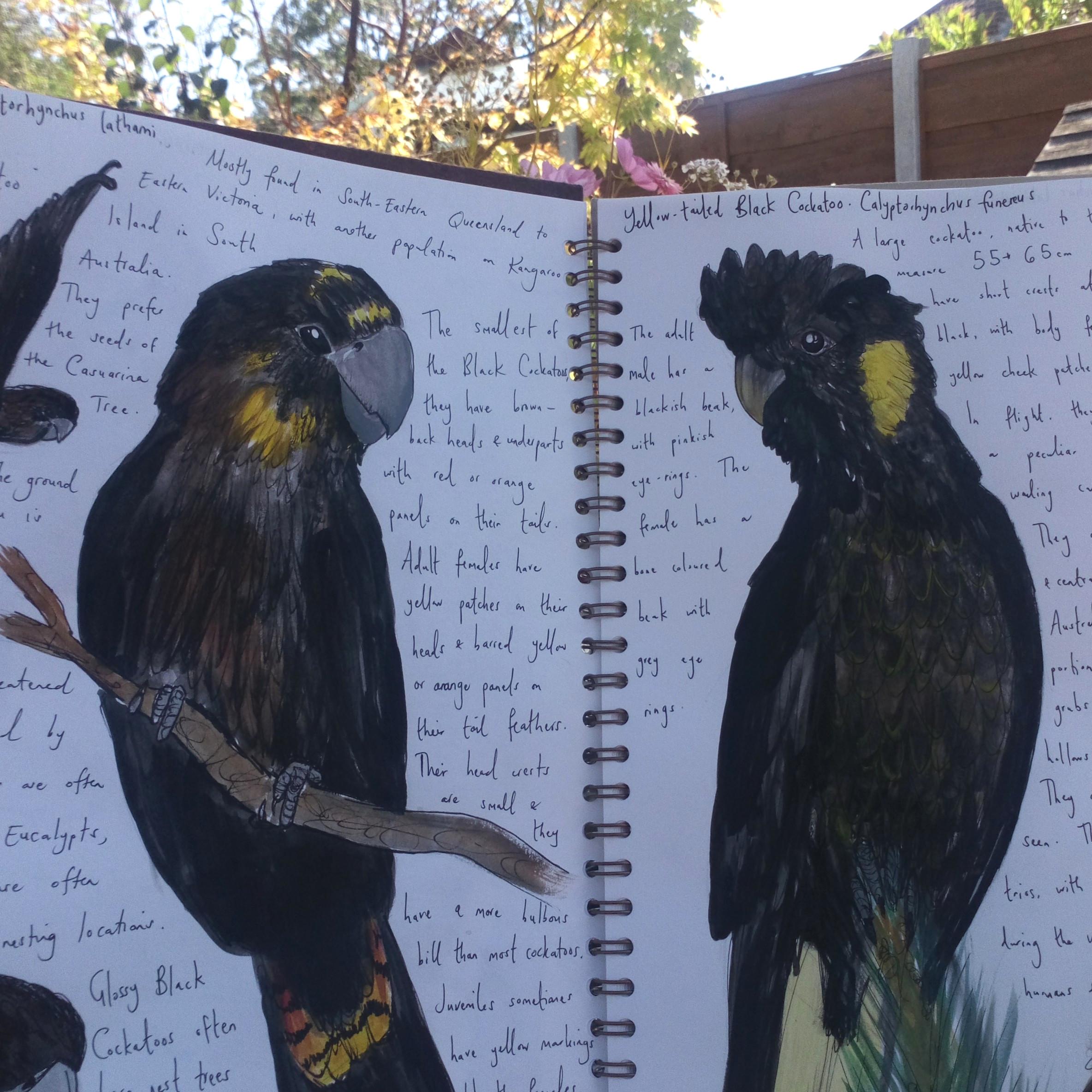 Sketchbook doodles of black cockatoos