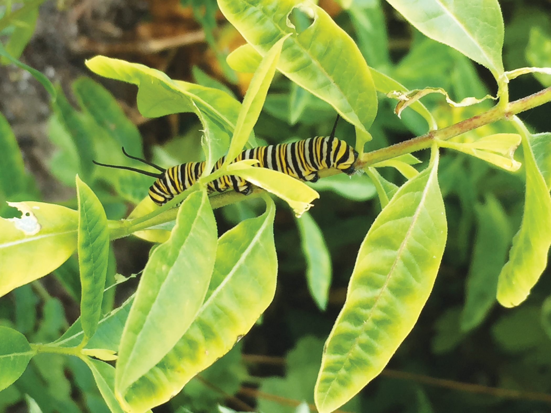 A monarch butterfly caterpillar munches on milkweed leaves. Image by  LADYBUG.