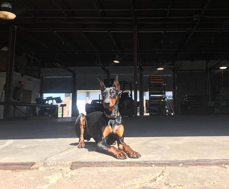 Ben - Brock's Doberman that's grown up at the shop and is a world class gentleman