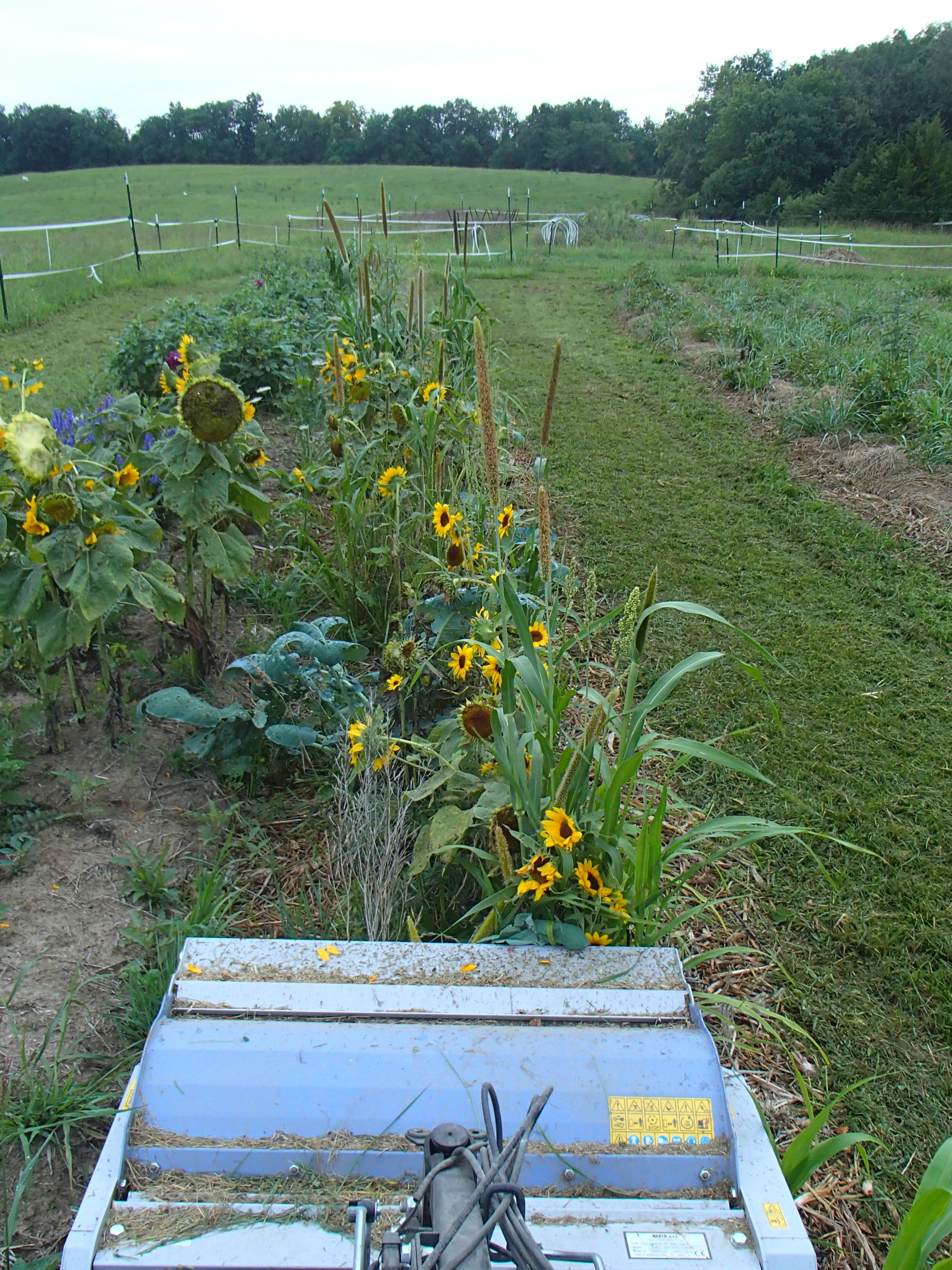 Flail mower in a bed we formed this spring. It was in a soil building spring mix.