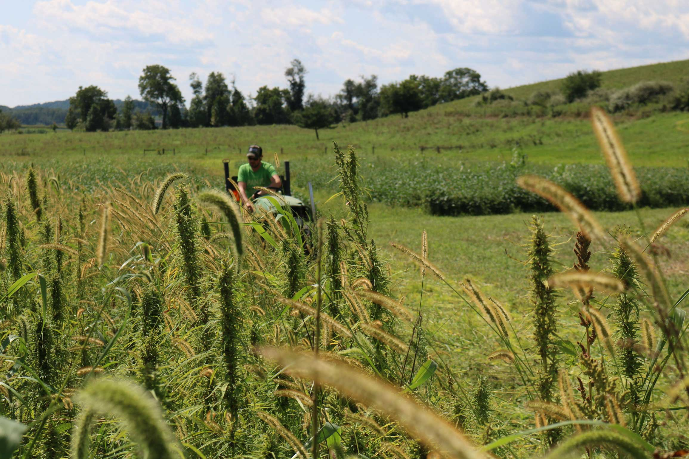 Photo: Hemp growing at Rodale Institute, a global leader of regenerative organic agriculture, in Kutztown, PA. 2019 marks Rodale Institute's third year of industrial hemp research