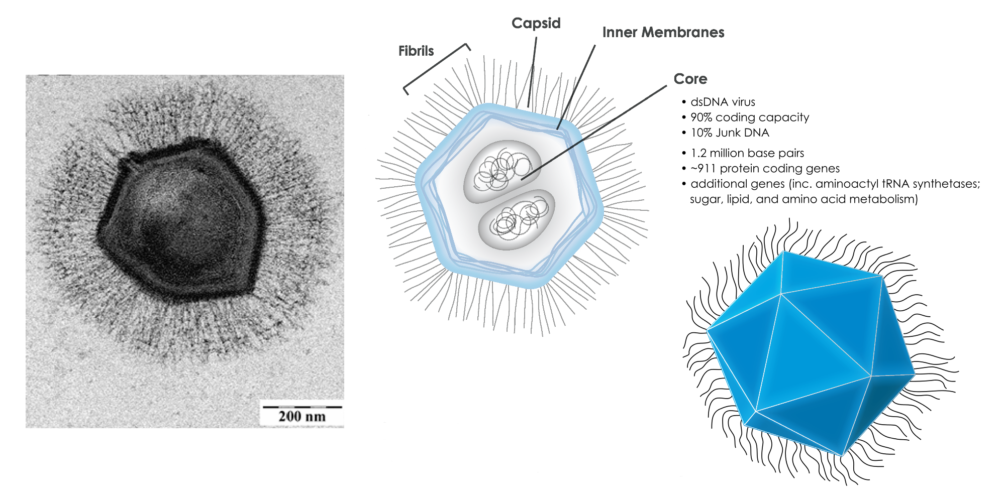 1280px-Mimivirus composite.png