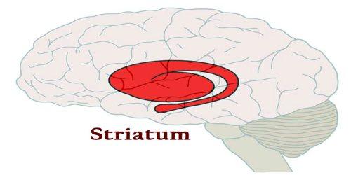 striatum.jpg