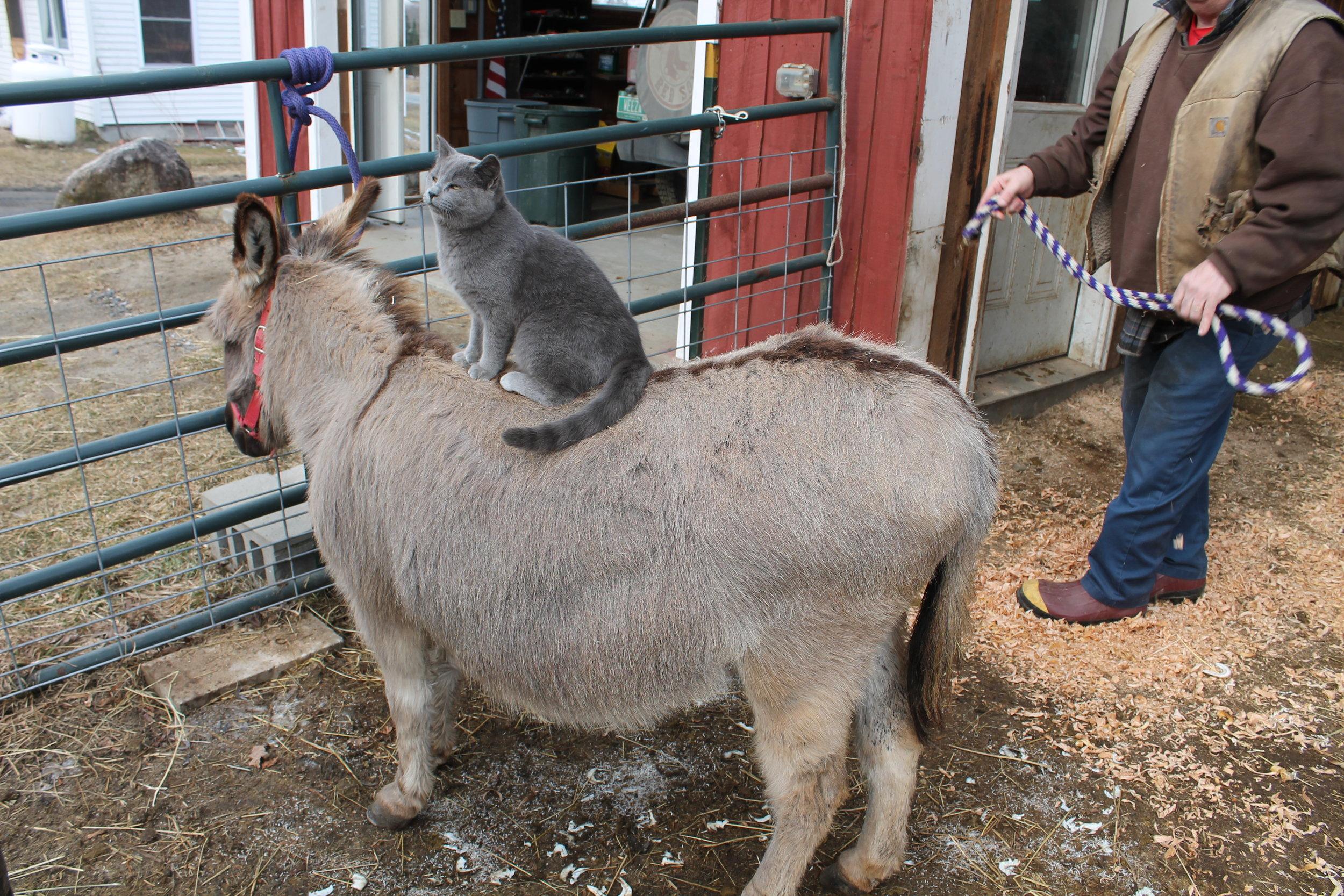 CAT ON DONKEY 5X7.jpg