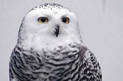 FETLAR - Species: Snowy OwlLikes: Company… human and feline!Dislikes: Hammering.