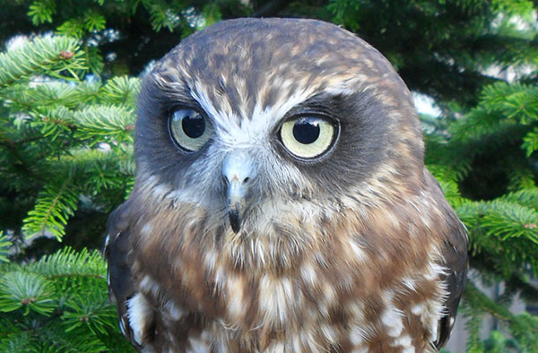 SHEILA - Species: Boobook OwlLikes: Everybody!Dislikes: Waiting.