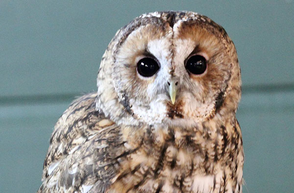 TONY - Species: Tawny OwlLikes: Imitating his neighbours.Dislikes: Butterflies.