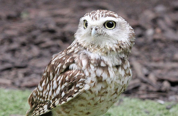 DUG - Species: Burrowing OwlLikes: Collecting pebbles.Dislikes: Tawny Frogmouths.