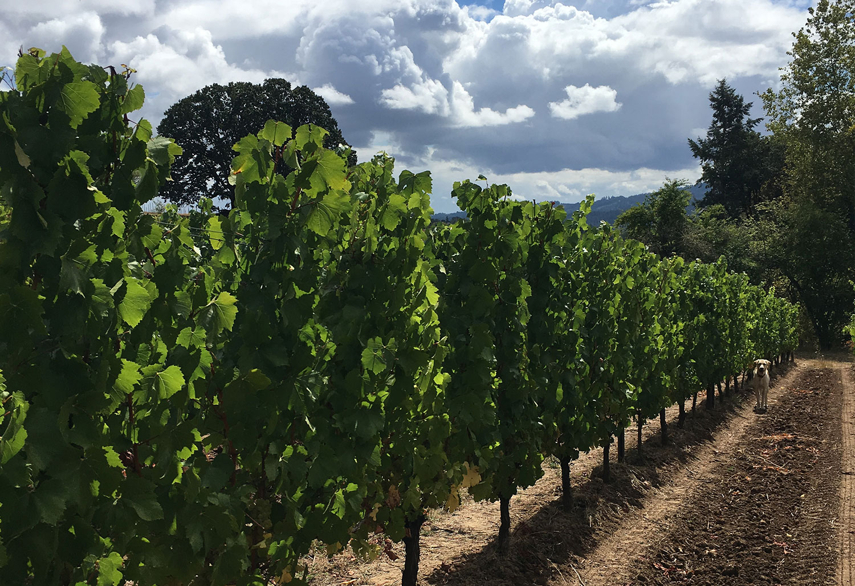 Chehalem Mountain Vineyard