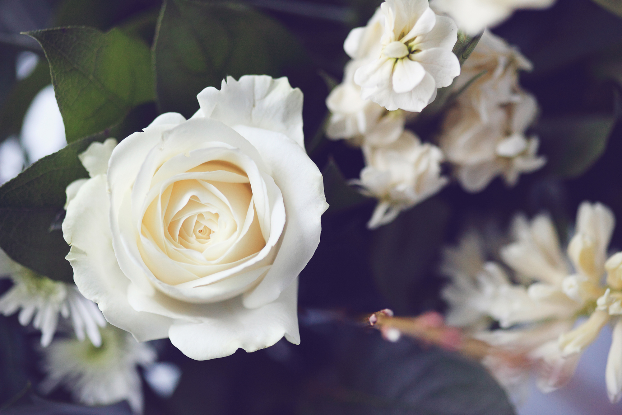 White rose purity