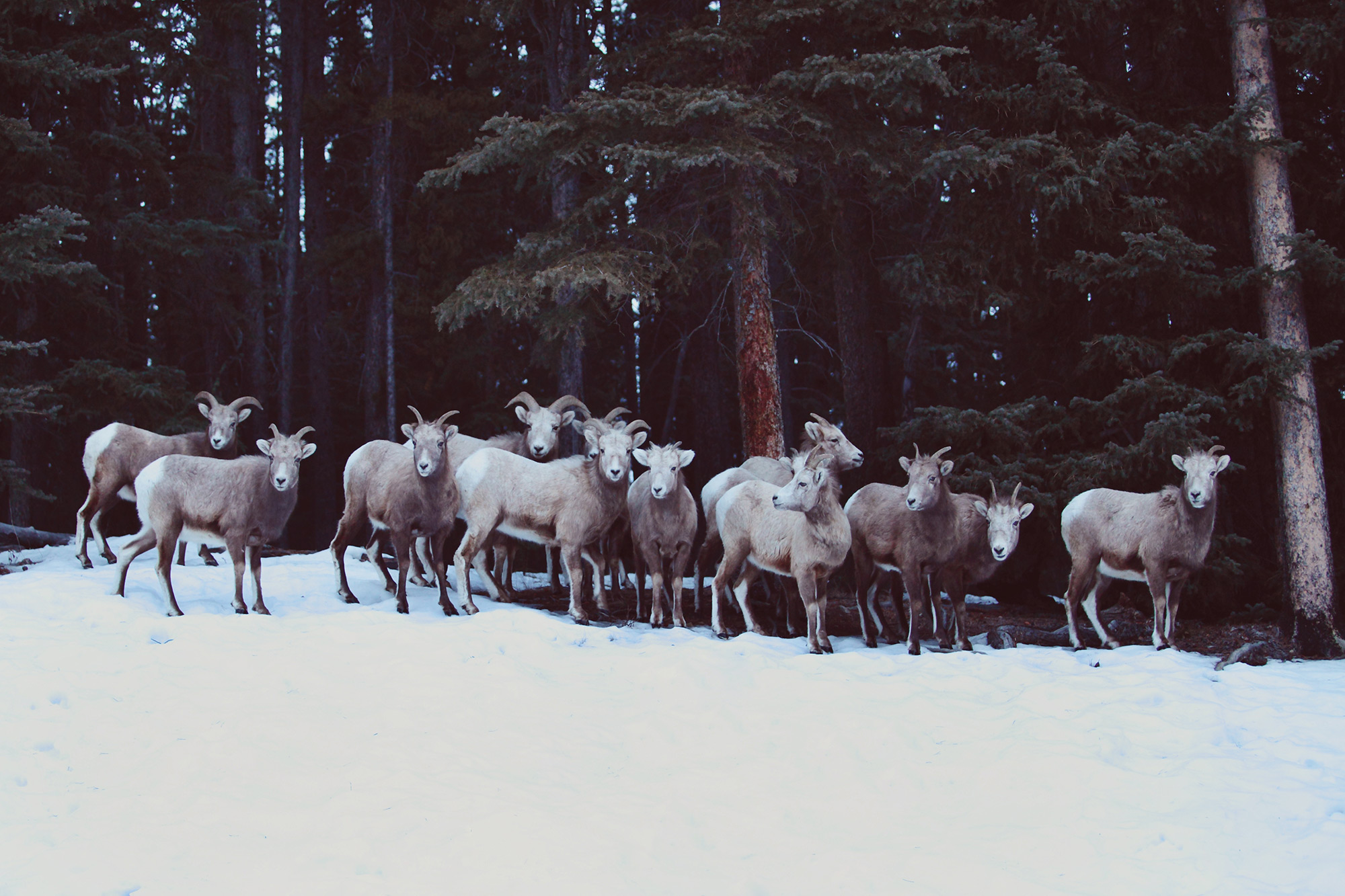 Banff Bighorn Sheep, Alberta