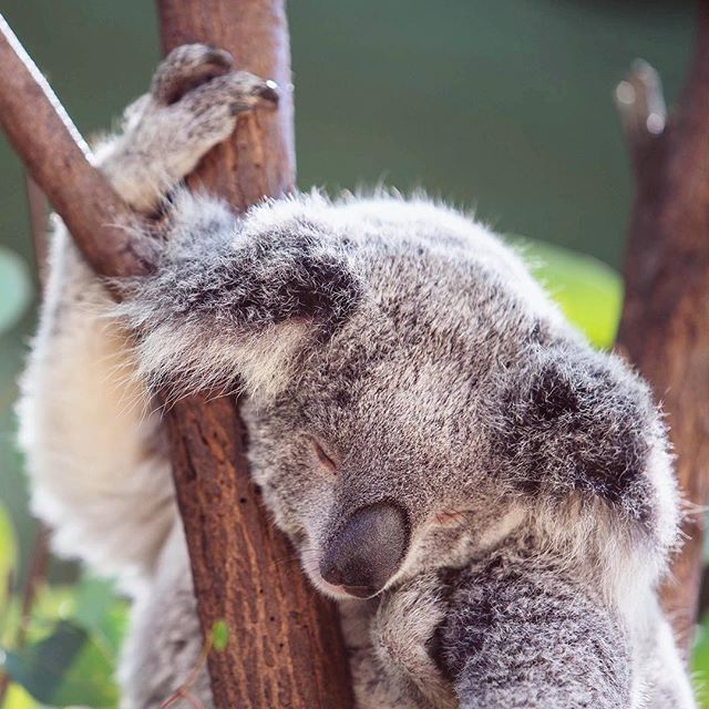 Can't believe summer is half way over, what an exhausting exhilarating month! I feel like this little guy😂 July started in Australia 🇦🇺, came home and explored up in Whistler for a few days, caught up with friends, quality time with kids and worked FEVERISHLY on my new website😅 Feeling productive!!💪🏼 Looking forward to my b-day month and lots of new adventures💫🙌🏼 #donthitsnooze #seeaustralia #beintrepid #currumbinwildlifesanctuary •  #SonyAlpha #sonya7riii #exploretocreate  #visualcreators #wheretofindme #lifewelltravelled #visualsoflife #exploreeverywhere #dailyhivevan