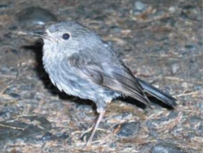 North Island Robin - photo Iris Broekma