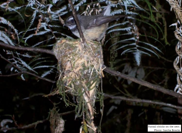 Piwakawaka on nest - photo Sacha Brocks