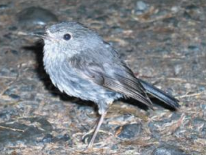 North Island Robin.png