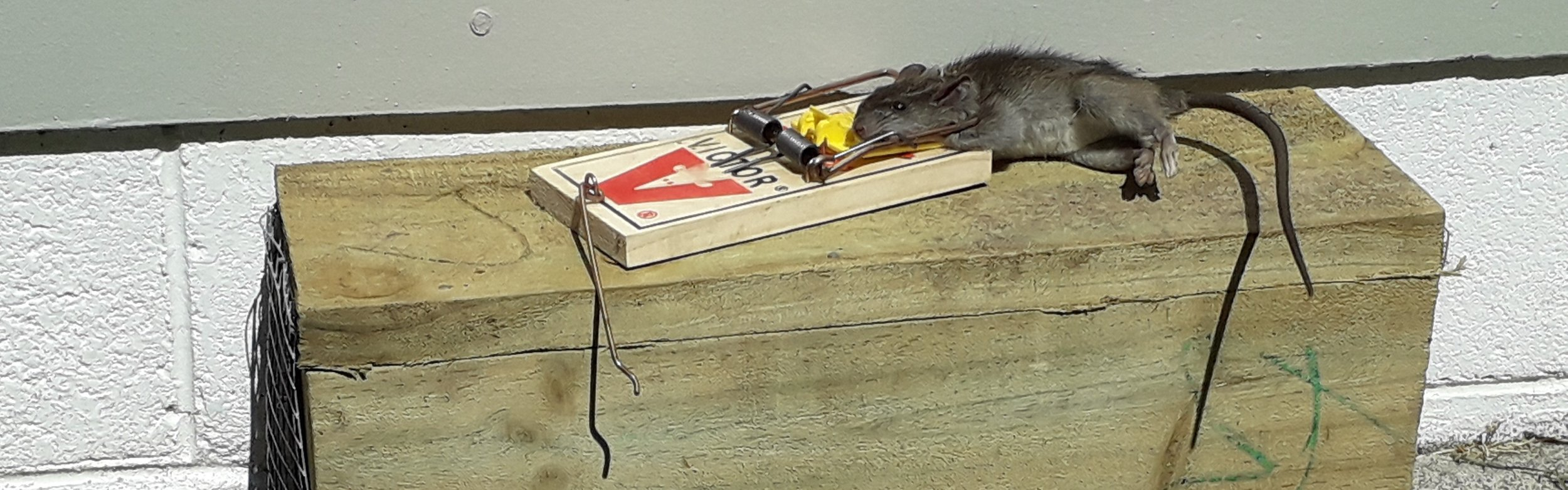 Rat caught with Victor trap.jpg