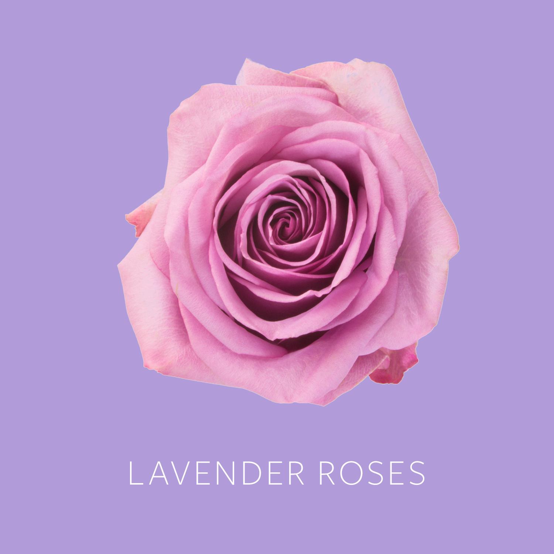 Lavender Roses.jpg